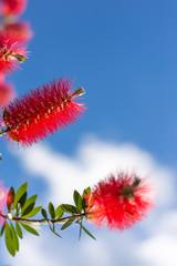 Callistemon flowers in a vibrant blue sky background. This plant is from the Myrtaceae family.