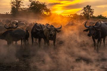 Photo sur Aluminium Buffalo Crowd buffalo in sunset