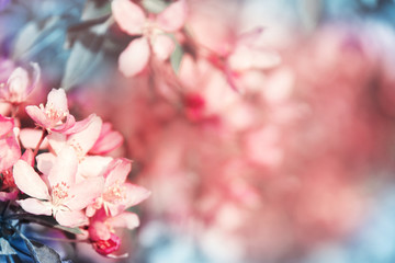 Gorgeous background with blooming coral cherry tree