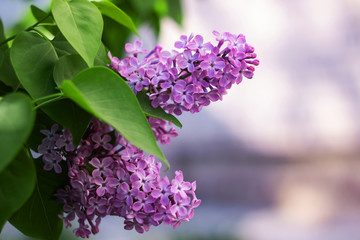 Papiers peints Lilac A branch of lilacs with flowers close up, copy space