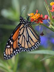 Closeup of monarch butterfly, profile, feeding on milkweed