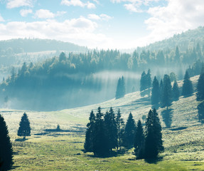 coniferous forest on hills and meadows. foggy afternoon in mountains. bright nature scenery with cloudy sky