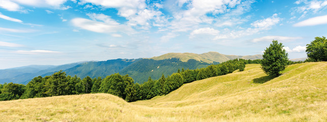 one tree on the meadow in high mountain panorama. beech forest around the hill. ridge in the distance. sunny afternoon weather in summer. location in the ukrainian Carpathians, svydovets range