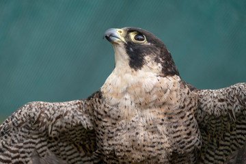 Peregreen falcon, bird of prey, photographed in the Drakensberg mountains near Cathkin Peak, Kwazulu Natal, South Africa