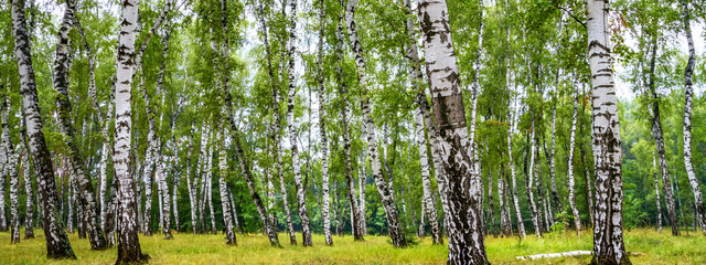 Birch grove on a sunny summer day, summertime landscape