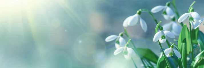 Galanthus nivalis or common snowdrop - blooming white flowers in early spring in the forest, closeup with space for text Wall mural
