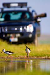 Bird photographer and water birds. Birds: Black winged Stilt. Himantopus himantopus.