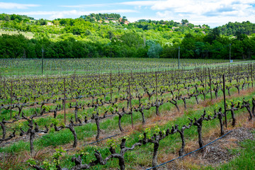 Fototapete - Production of rose, red and white wine in Provence, South of France, vineyard in early summer