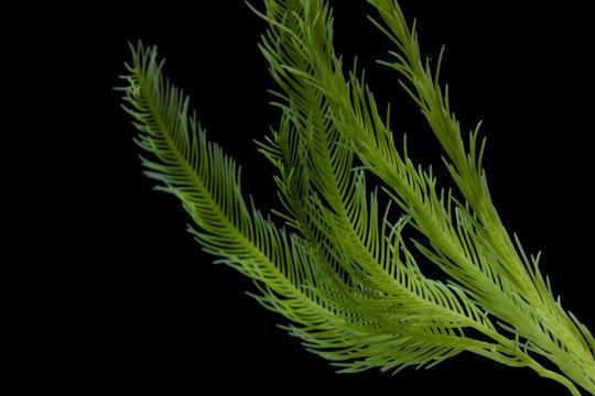 Saltwater Caulerpa taxifolia, Killer Algae, marine alga, seaweed isolated on black background.