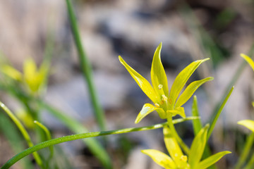 Yellow star-of-Bethlehem Flower