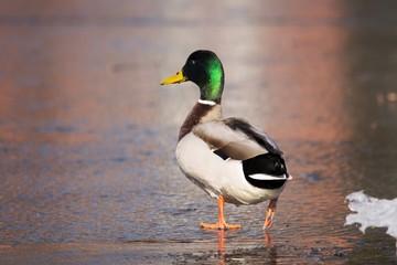Duck Ente Erpel Tier Portrait Heimisch Winter Vögel Vogel Wasservogel Federkleid Schnabel Eislauf Natur Wildlife Outdoor Bokeh grün bunt watscheln laufen läuft