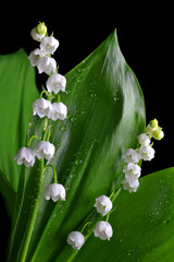 Blossoming lilly of the valley (Convallaria majalis) with transparent drops of water.Spring flower with green leaf on black background.