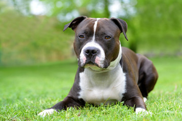 American staffordshire terrier or amstaff or stafford. Portrait of a dog lying on the grass.