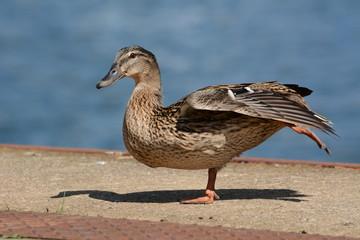 Duck Ente Tier Portrait Federkleid Heimisch Wasservögel Vogel Schnabel Augen Detail Tele Wildlife Natur Fauna Meer Ostsee