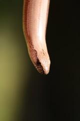 Blindschleiche Eidechse Echse Schlange Tier Portrait Wildlife Makro im Grünen Outdoor  Auge Gesicht Hand Finger Heimisch Tiere Reptil Bokeh