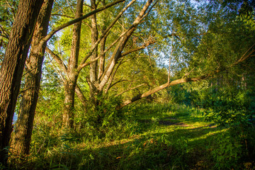 Natural forest, sun rays through the trees create a fantastic picture