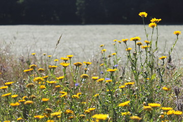 Corn marigold or Corn daisy (Glebionis segetum) with bright yellow flowers during sunset in summer July