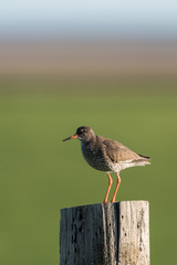Fototapeten Natur The common redshank or simply redshank (Tringa totanus) on a post