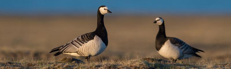 Aluminium Prints Nature Barnacle geese in beautiful light in Icelandic summer landscape.