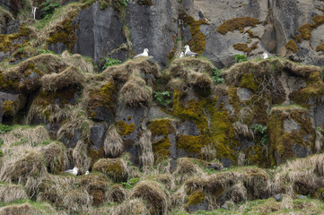 Photo sur Plexiglas Nature The northern fulmar (Fulmarus glacialis) nesting at Skógafoss waterfall in Iceland