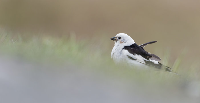 The snow bunting (Plectrophenax nivalis) is a passerine bird in the family Calcariidae