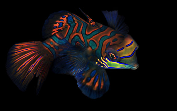 Mandarinfish (aka Mandarin Dragonet, Synchiropus splendidus) on Black Background. Moalboal, Philippines