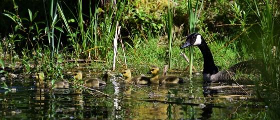 Wildgänse Küken Nachwuchs Gänseküken Familie Natur Biotop Tiere Heimat See Schwimmen Gefieder Plüsch