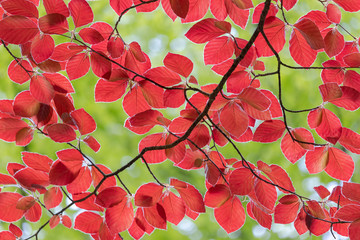 beautiful red leaves of a red beech tree