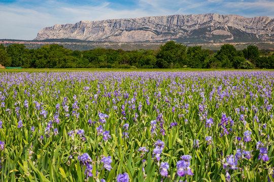 Iris meadow close  to Sainte Victoire mountain near aix en Provence  France.