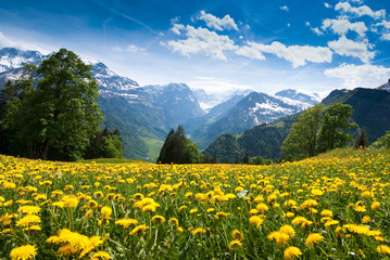 field of yellow flowers Wall mural