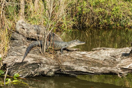 Alligator at rest on fallen tree log deep in the Louisiana bayou