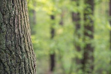 old oak tree trunk in spring forest