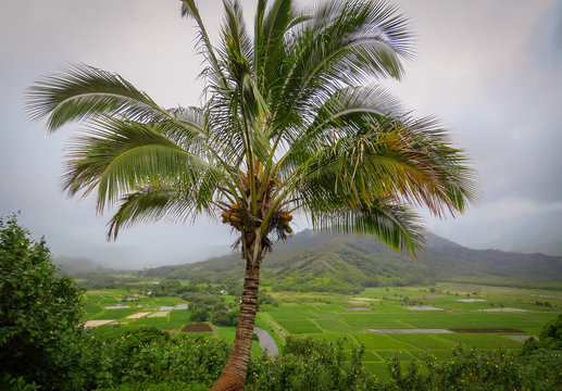 Palmtree at Hanalei valley lookout, taro fields and mountains in the background, Kauai, Hawaii, USA