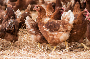 portrait of chicken in a Traditional free range poultry farming