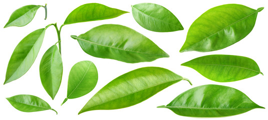 Isolated leaves. Collection of orange tree leaves and branches isolated on white background with clipping path