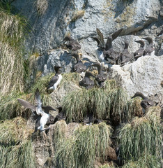 Flock of Thick-Billed Murres pack in tight on tiny ledges of rock or bushy long grass
