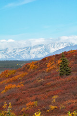 Bright orange and red folliage cover a small hillside with snow covered mountains in the distance
