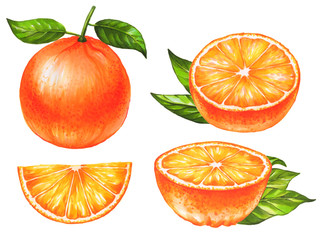Set of hand drawn oranges fruit on white background. Collection of citrus fruits. Watercolor and marker art. Botanical Illustration.