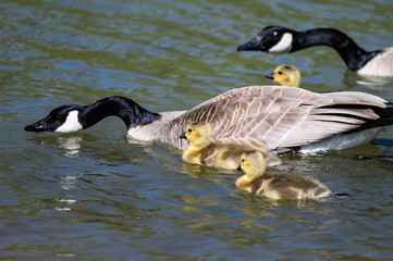 Newborn Goslings Learning to Swim Under the Watchful Eye of Mother