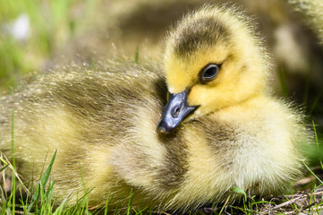Newborn Gosling Resting Quietly on the Soft Green Grass