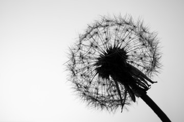 Macro dandelion seeds closeup in sunlight. Allegory of purity and lightness. Black and white photo.
