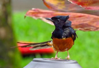 White-rumped shama bird (Copsychus malabaricus) with black and orange feathers, Kauai, Hawaii, USA