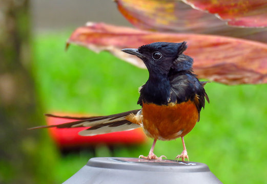White-rumped shama bird (Copsychus malabaricus) with black and orange feathers, Kauai, Hawaii, USA