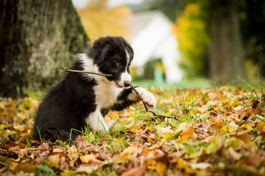 Portrait of cute black and white Border Collie puppy in fallen leaves