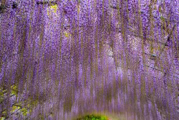 wisteria flowers, kawachi touen, fukuoka, japan Wall mural