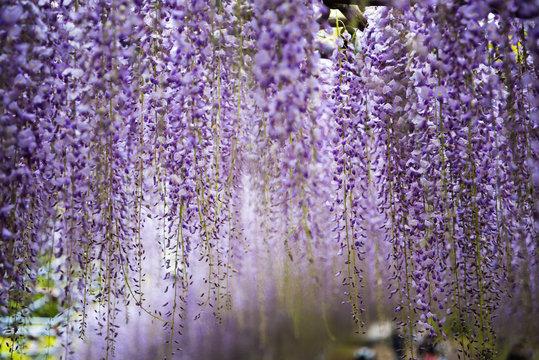 wisteria flowers, kawachi touen, fukuoka, japan