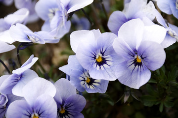 Pansy - Viola x wittrockiana. light purple  color.