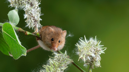 Adorable cute harvest mice micromys minutus on white flower foliage with neutral green nature background Fotomurales