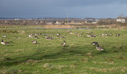 A large flock of Canadian geese grazes on a grassy field. Special zone near Exminster. The neighborhood of Exeter. Devon. UK