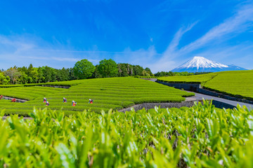 静岡県富士市 大淵笹場の茶畑 お茶まつり Wall mural
